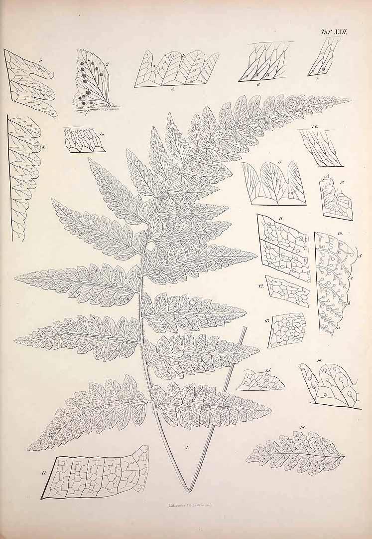 Polystichum platyphyllum