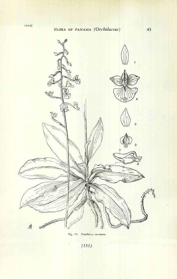 Ponthieva racemosa