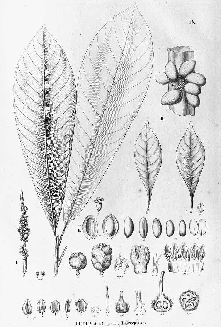 Pouteria sapota