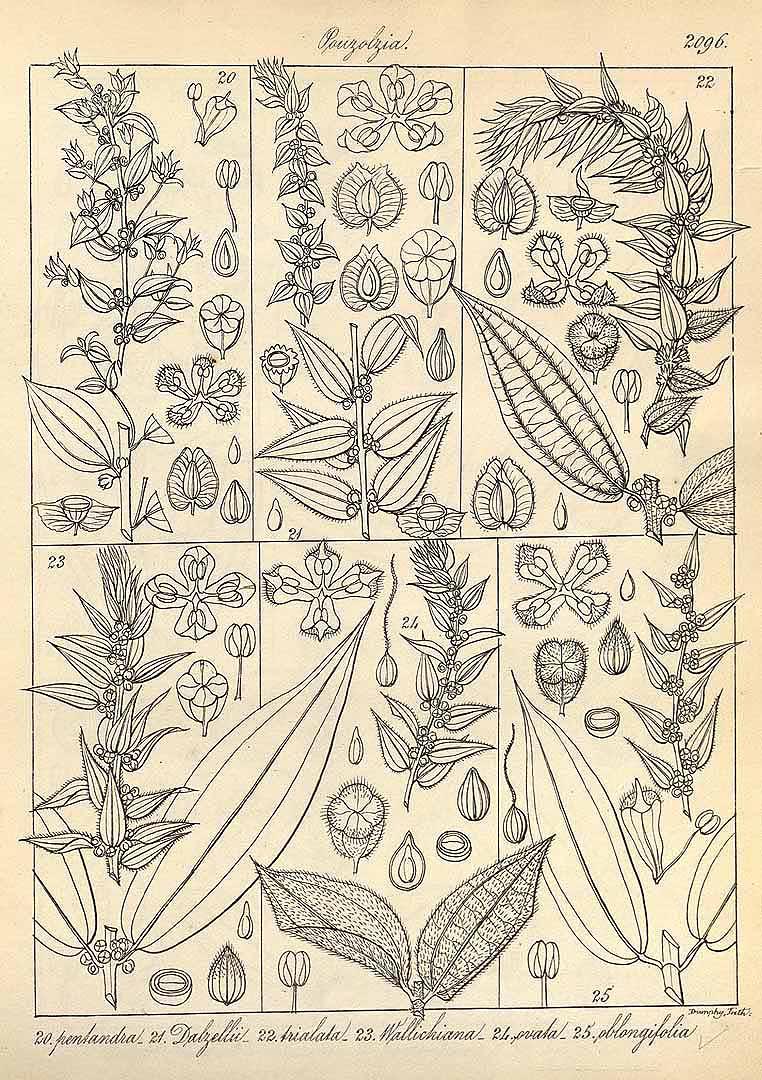 Pouzolzia occidentalis
