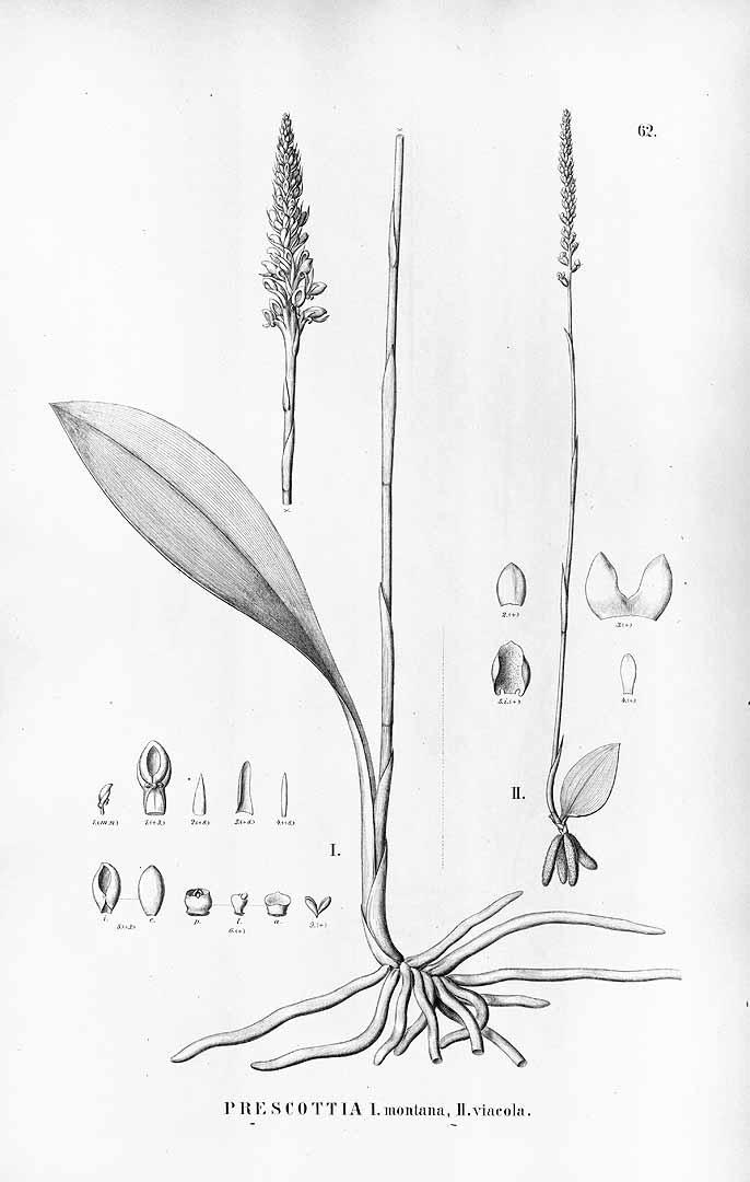 Prescottia oligantha