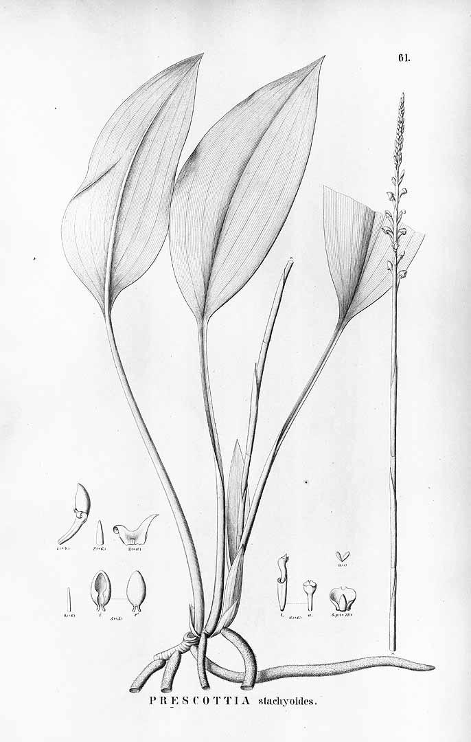 Prescottia stachyodes