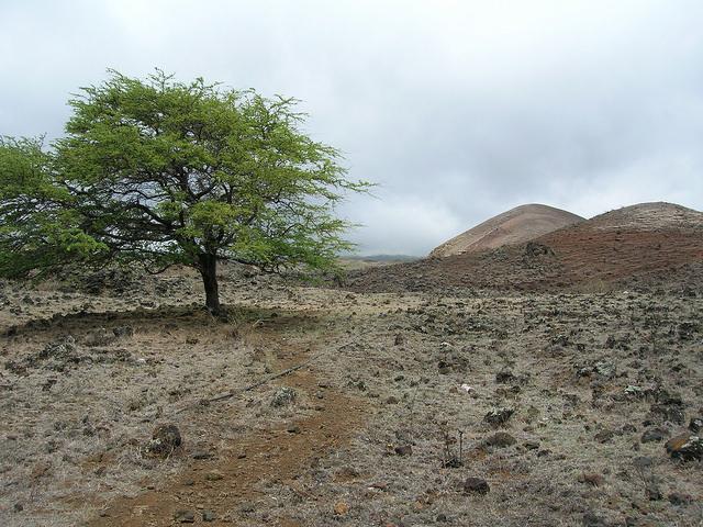 Prosopis pallida