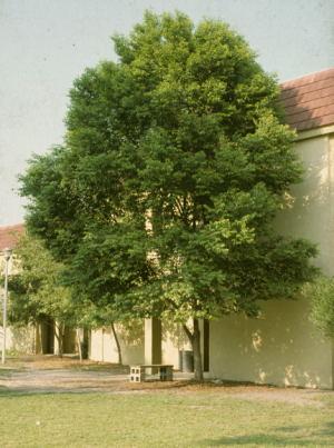 Prunus myrtifolia