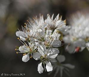 Prunus umbellata