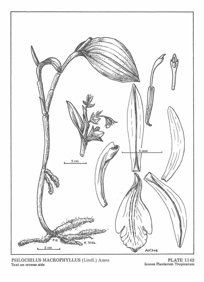 Psilochilus macrophyllus
