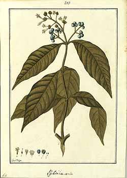 Psychotria brachiata