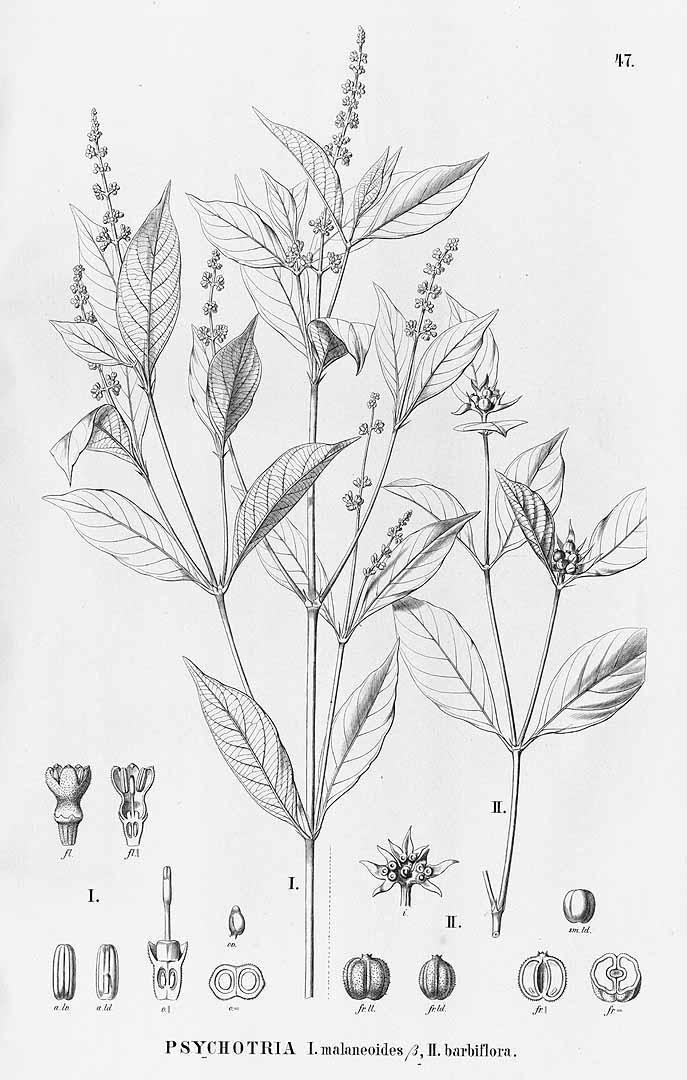 Psychotria hoffmannseggiana
