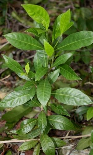 Psychotria ligustrifolia