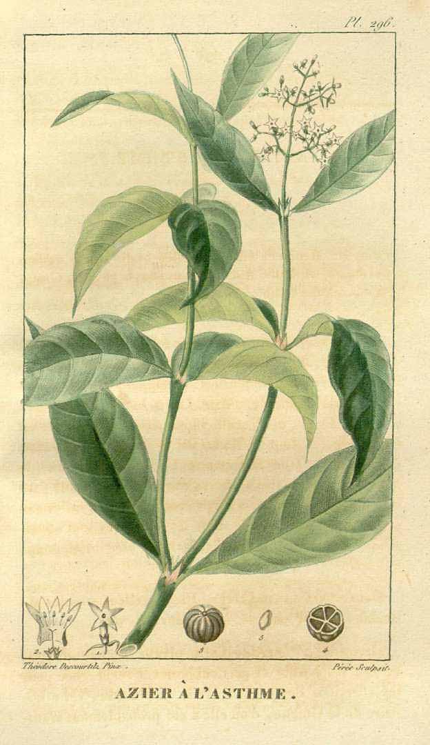 Psychotria officinalis