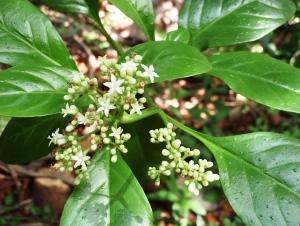 Psychotria punctata