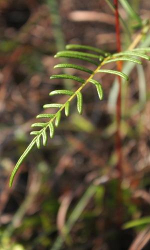 Pteridium caudatum