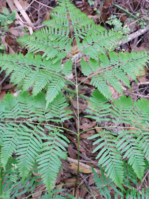 Pteridium pseudocaudatum