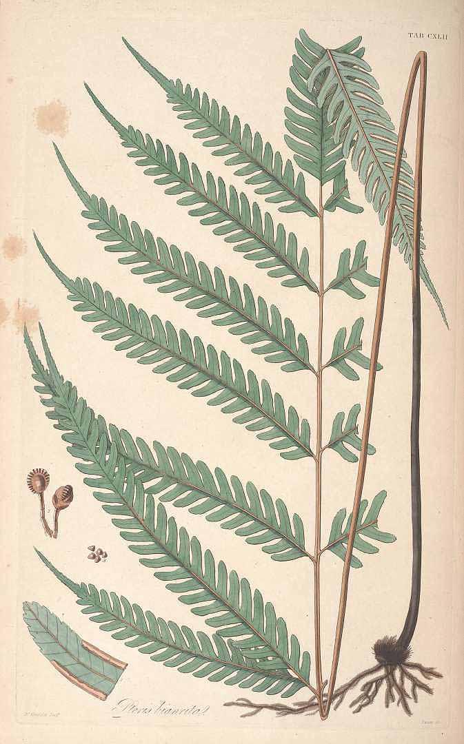 Pteris biaurita