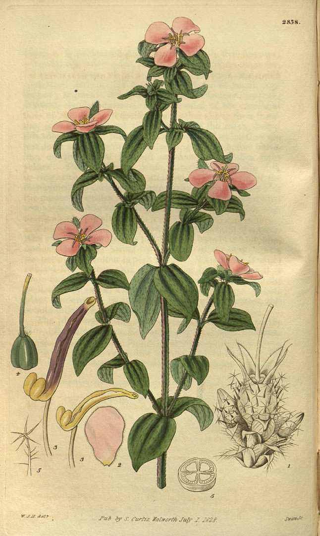 Pterolepis glomerata