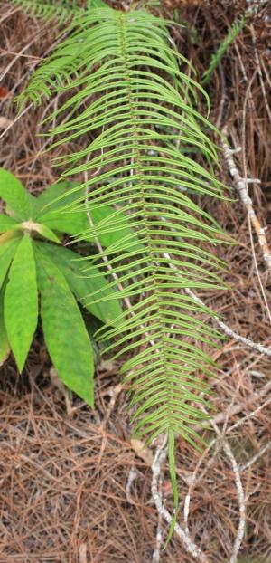 Pteris longifolia