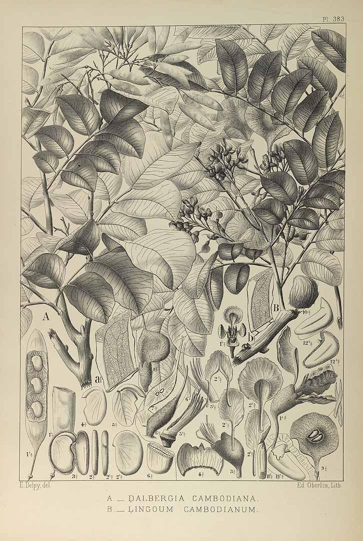 Pterocarpus macrocarpus