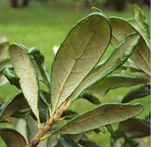 Quercus geminata