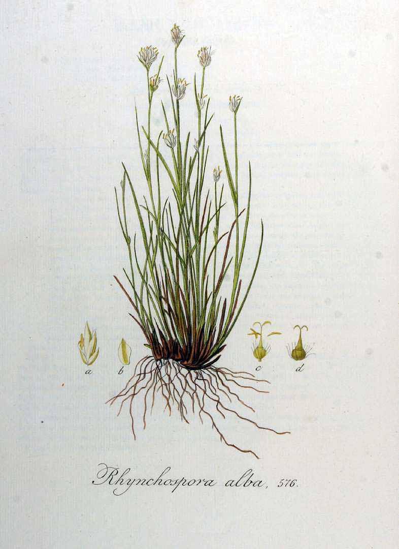 Rhynchospora alba