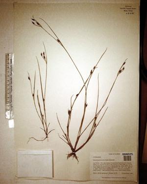 Rhynchospora eximia