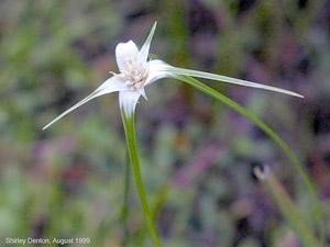 Rhynchospora floridensis