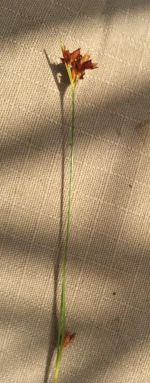Rhynchospora grayi