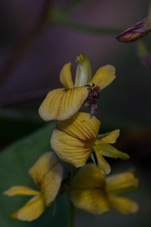 Rhynchosia minima