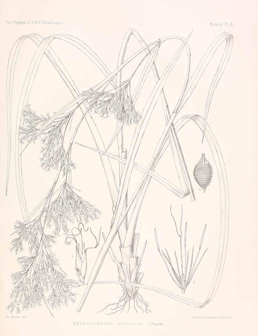 Rhynchospora odorata