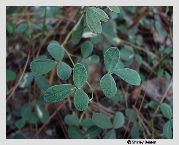Rhynchosia parvifolia