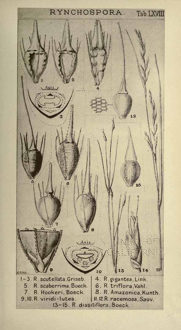 Rhynchospora racemosa