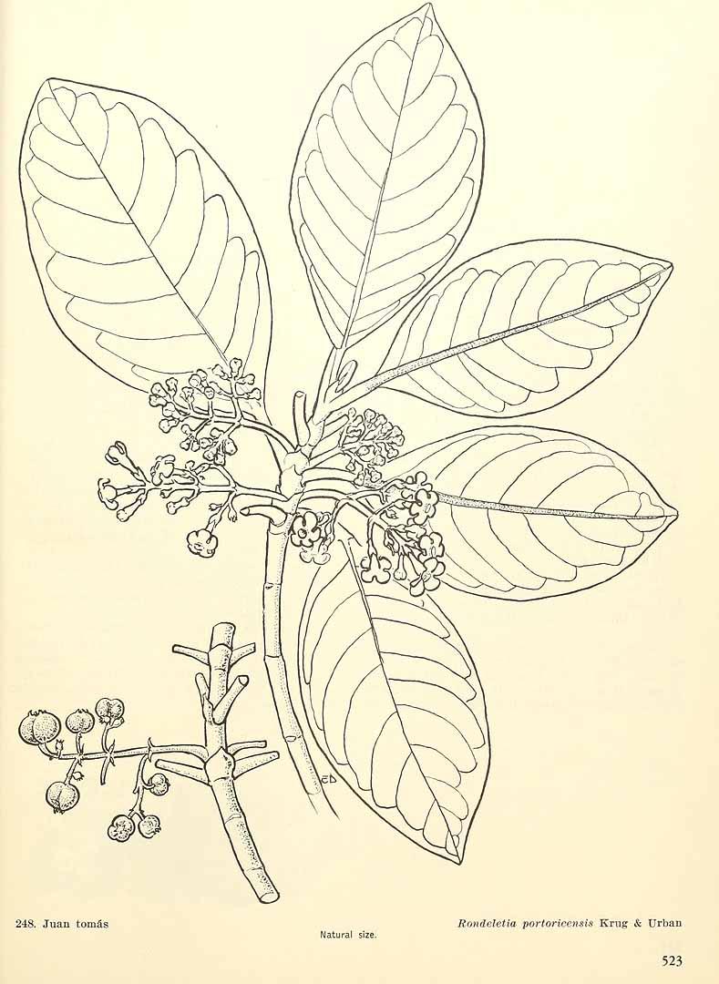 Rondeletia portoricensis