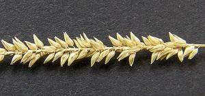 Sacciolepis indica