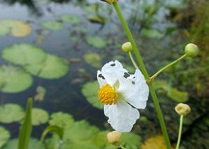 Sagittaria lancifolia