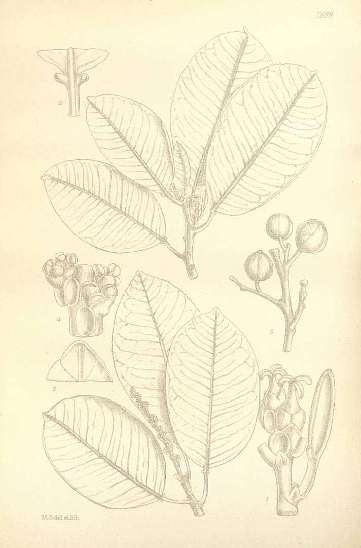 Sapium laurocerasus