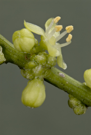 Schaefferia frutescens