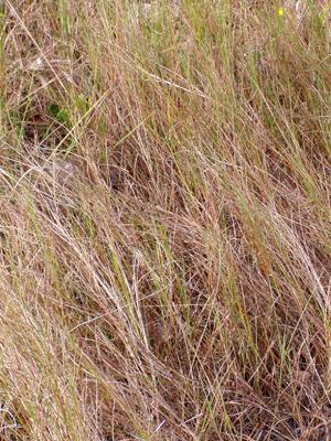 Schizachyrium rhizomatum