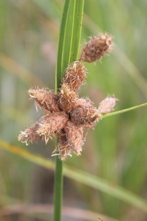 Schoenoplectus robustus