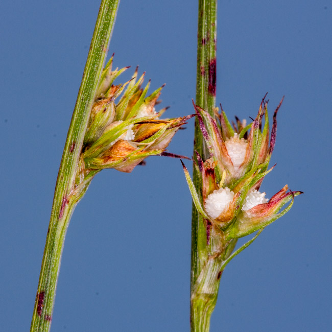 Scleria verticillata