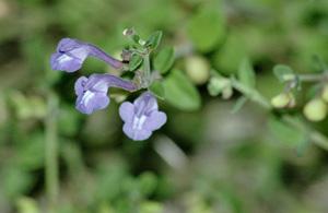 Scutellaria havanensis