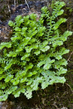 Selaginella eatonii