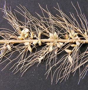 Setaria macrosperma