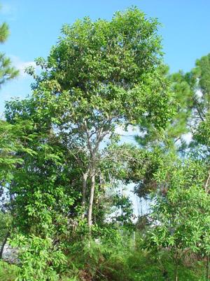Sideroxylon salicifolium