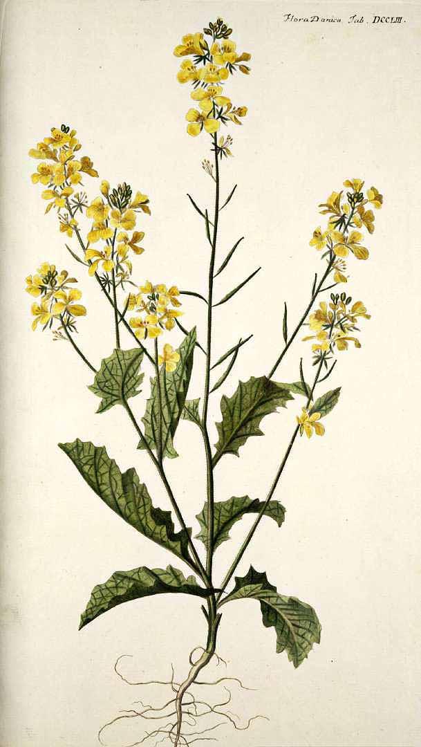 Sinapis arvensis