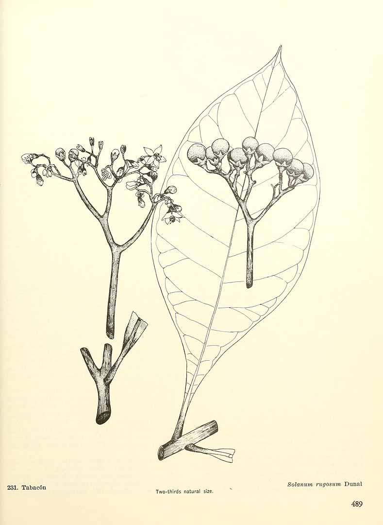 Solanum rugosum