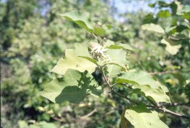 Solanum torvum