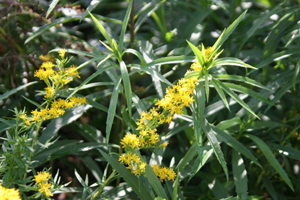 Solidago leavenworthii