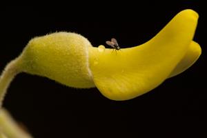 Sophora tomentosa