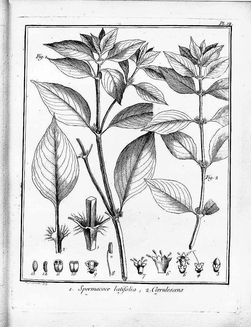 Spermacoce ocymifolia