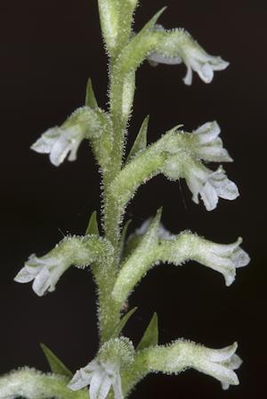 Beloglottis costaricensis