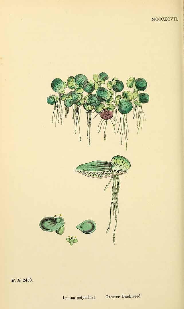 Spirodela polyrhiza